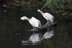 Vita pelikan vid vatten Fotografering för Bildbyråer