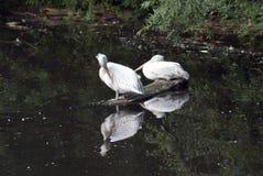 Vita pelikan vid vatten Arkivfoton