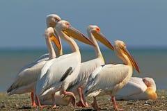 Vita pelikan vilar på en bank Arkivfoto