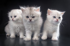 Vita persiska pussykatter Royaltyfria Foton