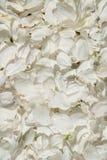 vita petals Arkivfoton