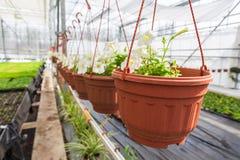 Vita petuniaväxter i krukor eller blomkrukor på det moderna växthuset, kommersiellt växa för manufactory av dekorativa växter Royaltyfri Bild