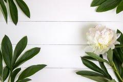 Vita pionblomma och sidor på vit lantlig träbakgrund med tomt utrymme för text Modell bästa sikt Royaltyfri Bild