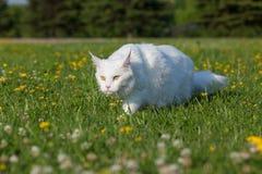 Vita platser för maine tvättbjörnkatt på gräs Arkivfoton