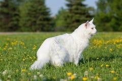 Vita platser för maine tvättbjörnkatt på gräs Arkivbilder