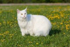 Vita platser för maine tvättbjörnkatt på gräs Royaltyfria Bilder