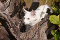 Vita platser för maine tvättbjörnkatt på torrt trä Arkivfoton