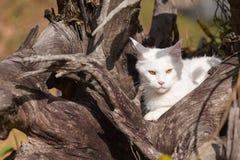 Vita platser för maine tvättbjörnkatt på torrt trä Arkivbild