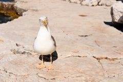 vita plattform stenar för seagull Royaltyfria Foton