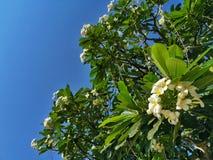 Vita plumeria- eller frangipaniblommor på bakgrund för blå himmel fotografering för bildbyråer
