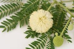 Vita Popinac, ledningsträd (Leucaenaleucocephalaen (Lamk ) De Intelligens) Royaltyfria Foton