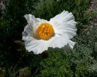 Vita Poppy Big Yellow Stamen Royaltyfri Bild