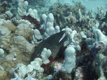 Vita prack Moray Eel arkivfoto