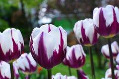 vita purpura tulpan Arkivbild