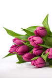 vita purpura tulpan för bakgrund Royaltyfria Bilder