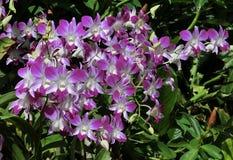 Vita & purpurfärgade orkidér Arkivfoto