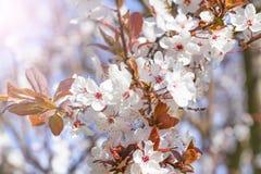 Vita röda blommor av Prunuscerasiferaen Blomstra filialen med med blommor av den körsbärsröda plommonet blomma tree royaltyfri fotografi