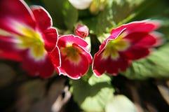 Vita röda gulingblommor Arkivbild