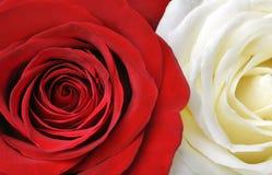 vita röda ro Arkivbild