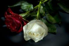 vita röda ro Fotografering för Bildbyråer