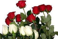 vita röda ro Royaltyfri Fotografi