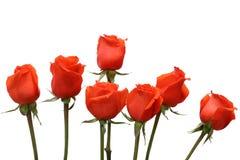 vita röda ro för bakgrund Royaltyfri Foto