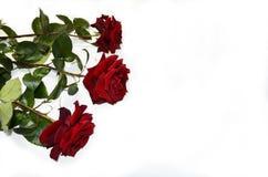 vita röda ro för bakgrund Royaltyfri Fotografi