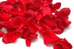 vita röda ro för bakgrundspetals royaltyfria foton