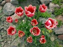 vita röda tulpan Royaltyfria Bilder