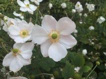 Vita rena blommor i höst Royaltyfri Fotografi