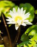Vita rena Lotus Royaltyfri Foto