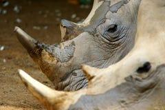 vita rhinos Fotografering för Bildbyråer