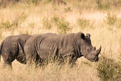 vita rhinos Arkivfoton