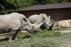 vita rhinos Royaltyfria Foton