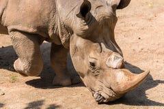 vita rhinos Royaltyfri Fotografi