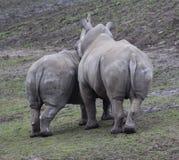 vita rhinos Arkivfoto
