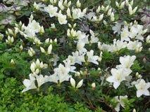 Vita Rhododendronblommor Royaltyfri Fotografi
