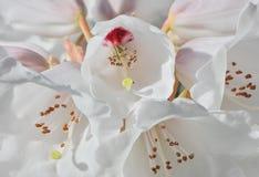 Vita Rhododendronblommor Arkivfoto