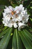 Vita Rhododendronblommor Arkivbild