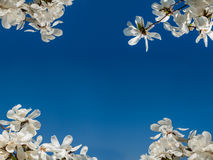 Vita rhododendroner över den blåa himlen Royaltyfria Bilder