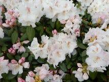 Vita rhododendroner Royaltyfri Fotografi