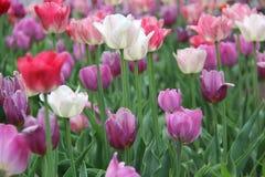 Vita rosa färg- och lavendeltulpan Arkivfoto