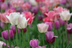 Vita rosa färg- och lavendeltulpan Royaltyfri Fotografi