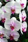 Vita rosa orkidér Arkivfoton