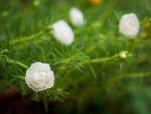 Vita rosemoss Fotografering för Bildbyråer