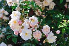 Vita rosor för buske i trädgården royaltyfri bild