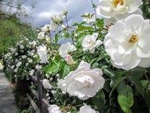 Vita rosor i vår royaltyfri foto