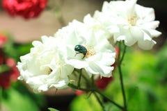 Vita rosor med flygkryp, ollonborre som sitter på en blomma Hälsningkort med blommor, naturbakgrund, kopieringsutrymme royaltyfri foto