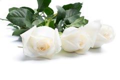 Vita rosor på en vit Arkivbild
