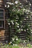 Vita rosor på spaljé Arkivfoton